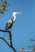 Cocoi Heron in the Pantanal area of Brazil.