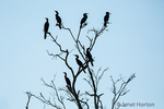 Neotropic Cormorants silhouetted in a tree.