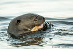 Giant River Otter eating a fish.