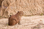 Capybara sitting by a thatched building in early morning.