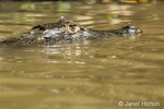 Yacare caiman searching for prey.