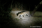 Ocelot at night time with a spotlight on it.