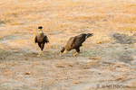 Male and female Southern Crested Caracaras in early morning.