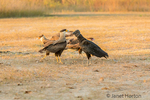 Male and female Southern Crested Caracaras and a Black Vulture in early morning.