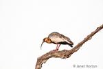 Buff-necked Ibis in a dead tree.