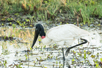 Jabiru looking for fish to eat in the shallow marsh.