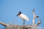 Jabiru standing in its large nest.