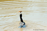 Neotropic Cormorant trying to eat a small fish.