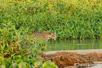 Jaguar walking on a sandbar on the Cuiaba River.