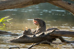 Giant River Otter eating a fish it caught in the Cuiaba River in early morning.