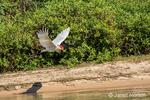 Jabiru flying along a riverbank.