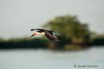 Male Black Skimmer flying over water.
