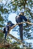 Hyacinth Macaws preening in a tree.