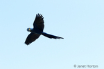 Hyacinth Macaws flying.