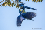 Pair of Hyacinth Macaws mated for life, showing affection.