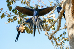 Hyacinth Macaw landing in a tree.