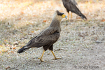 Female Southern Crested Caracara walking on a sandy riverbank.
