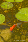 Fancy goldfish (red lionhead) swimming in my backyard pond underneath lilypads