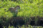 Jaguar along a riverbank.