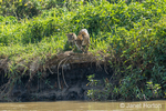 Female Jaguar and a cub along a riverbank, about to go down for a swim.