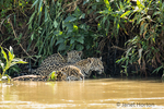 Female jaguar swimming in the Cuiaba River, joined by one of her young who wants to get a drink.