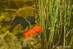 Fancy goldfish (black and red orandas) eating food trapped in the blue corkscrew rush in my backyard pond