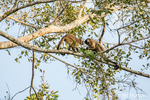 Two Black-capped Capuchin monkeys sitting high in a tree eating leaves.