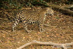 Jaguar walking along the riverbank searching for food.