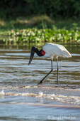 Jabiru wading in the shallows of the Cuiaba River, looking for food.