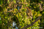 Fasciated Tiger Heron perched in a tree