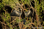 Anhinga with outspread wings to absorb solar energy.