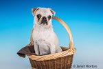Max, a white Pug puppy, sitting in a large basket