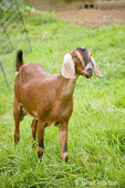 "Nubian Goat named ""Reeba"" standing in the field of a small urban farm"