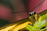 Close-up of a Giant Swallowtail or Orangedog butterfly