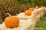 Orange warty pumpkins resting on bales of hay for Halloween decoration.