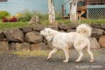 Great Pyrenees dog on a farm