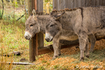 Two donkeys taking shelter during a rain.