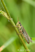 Red-legged Locust perched on the furry stalk of a wildflower in a backyard in a rural area.  They transmit poultry tapeworms and also parasites that mature in quail, turkeys and guinea fowl.