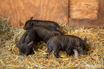 Three piglets about two weeks old in their barn.