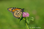 Monarch butterfly on red clover with its wings closed in the backyard in a rural area.