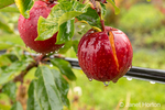 Close-up of Gale Gala apples growing in the orchard on a rainy day.