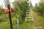 Ladders in a Gala apple orchard on a rainy day.