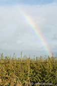 Rainbow over an orchard using a v-trellis system on a rainy day.