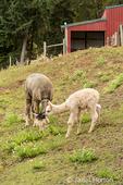 Mother and baby (cria) alpaca grazing in pasture in light rain.