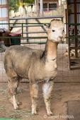 Adult alpaca in its barn.
