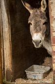 Donkey peeking around the corner as it takes shelter during a rain.