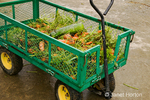 Green metal wagon full of organic carrots and a squash at Fall City Farms
