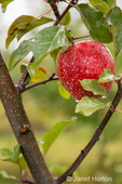 Close-up of Gala apples growing in the orchard on a rainy day.