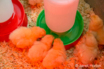 Buff Orpington chicks huddled together under a heat lamp with some drinking