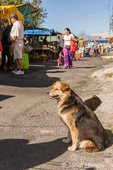 Dog waiting its master who is shopping at the Farmers Market.